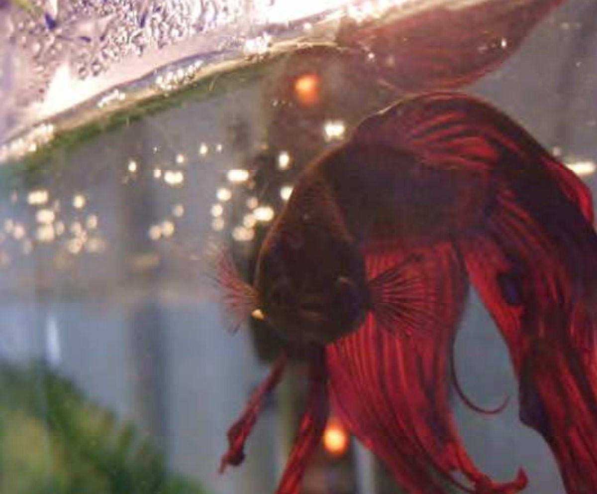 Betta Fish, Duke