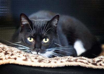 black-cat-lexi