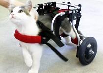 Tim as a kitten on wheelchair
