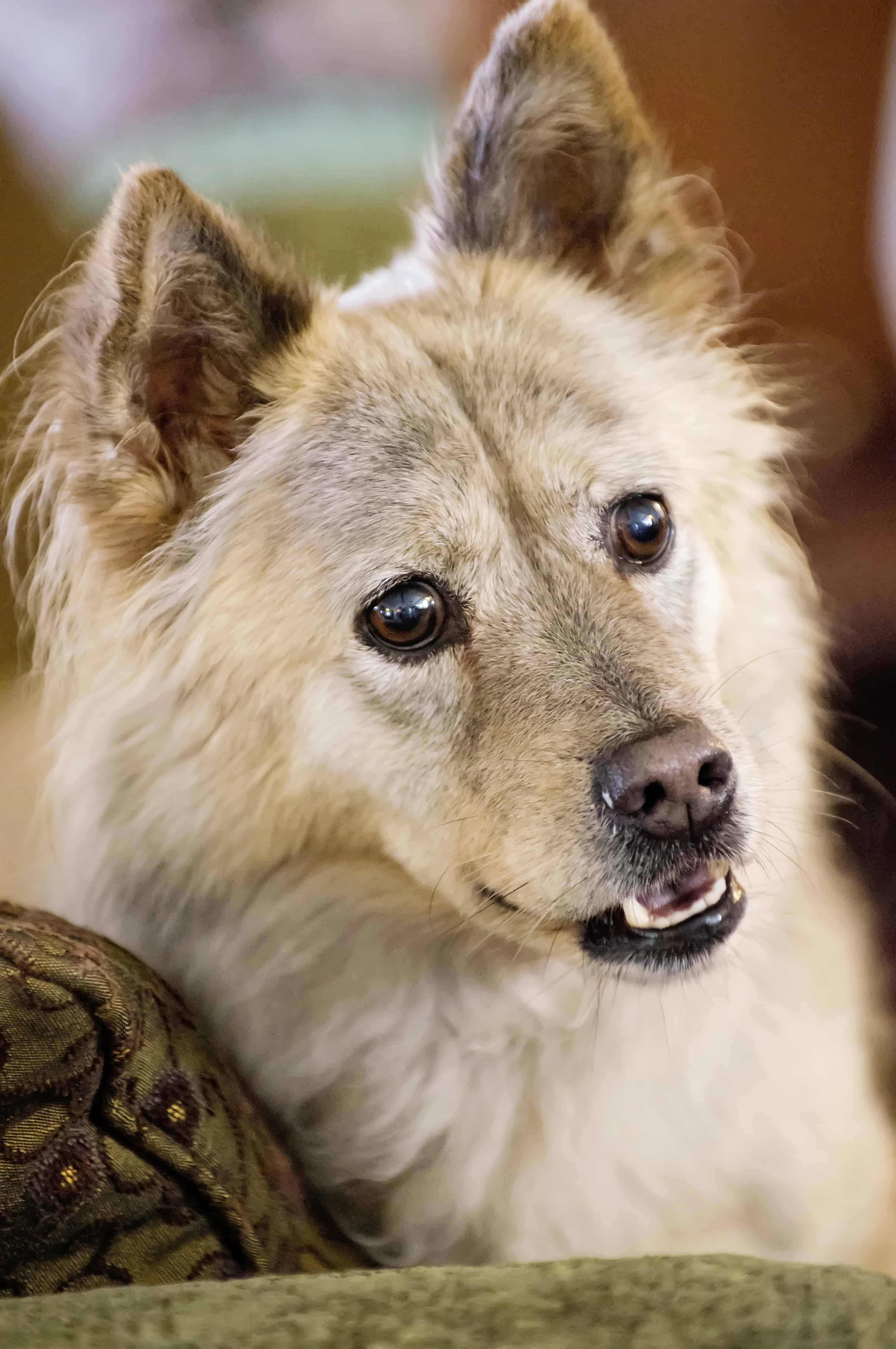 wolflike dog head shot