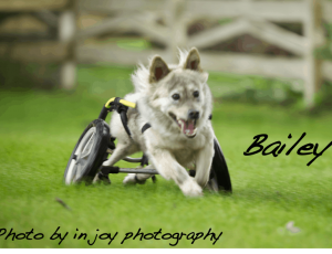 dog joyfully running on wheels