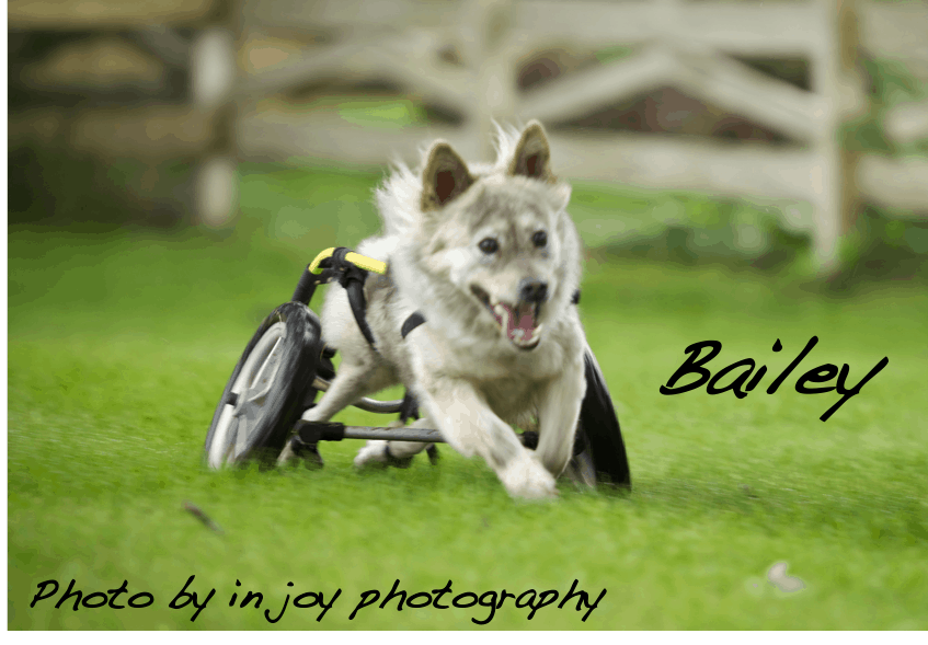 dog joyfully running on wheels